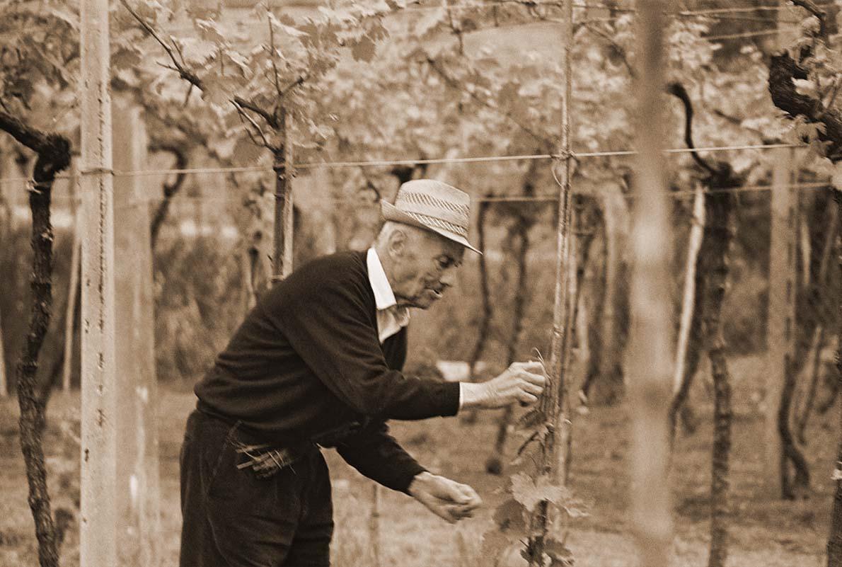 nonno Pietro Cavaggioni in vigna